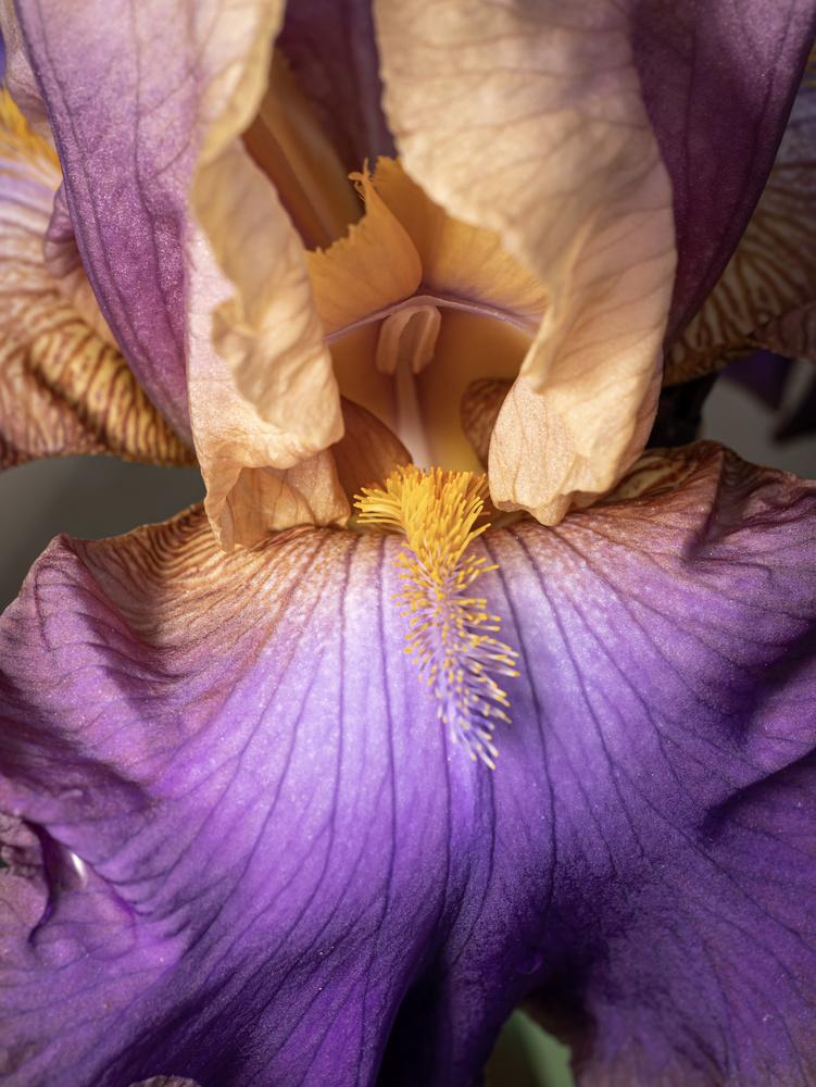 Iris 1 by Troy Straub