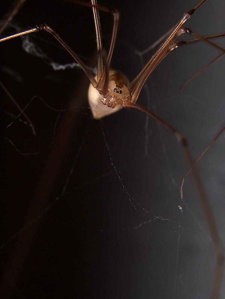 Cellar Spider by Troy Straub