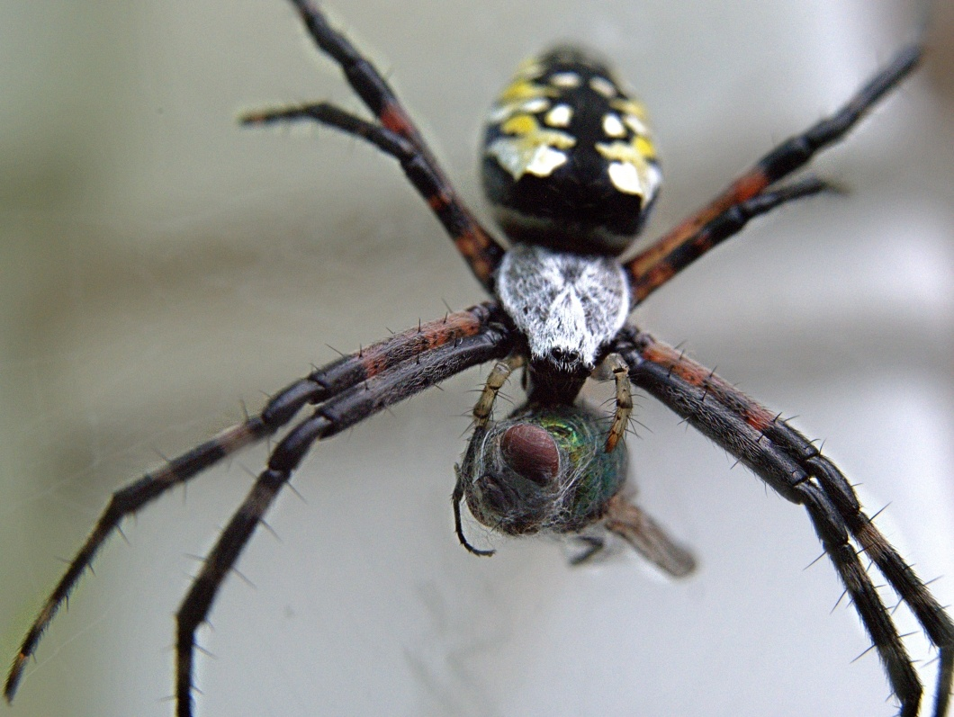 Black and Yellow Orb Weaver with Blowfly by Troy Straub