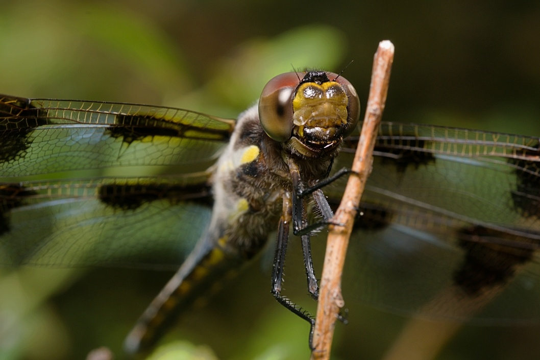 12 Spotted Skimmer Male by Troy Straub