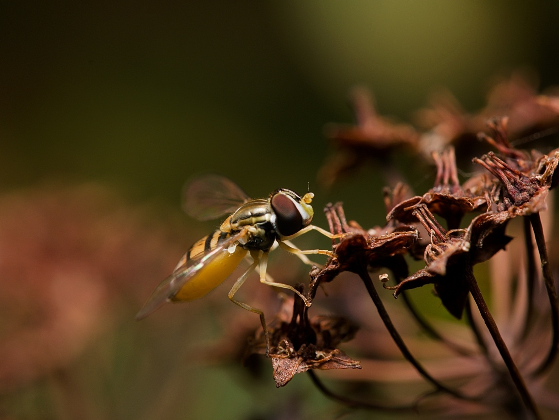 Hoverfly by Troy Straub