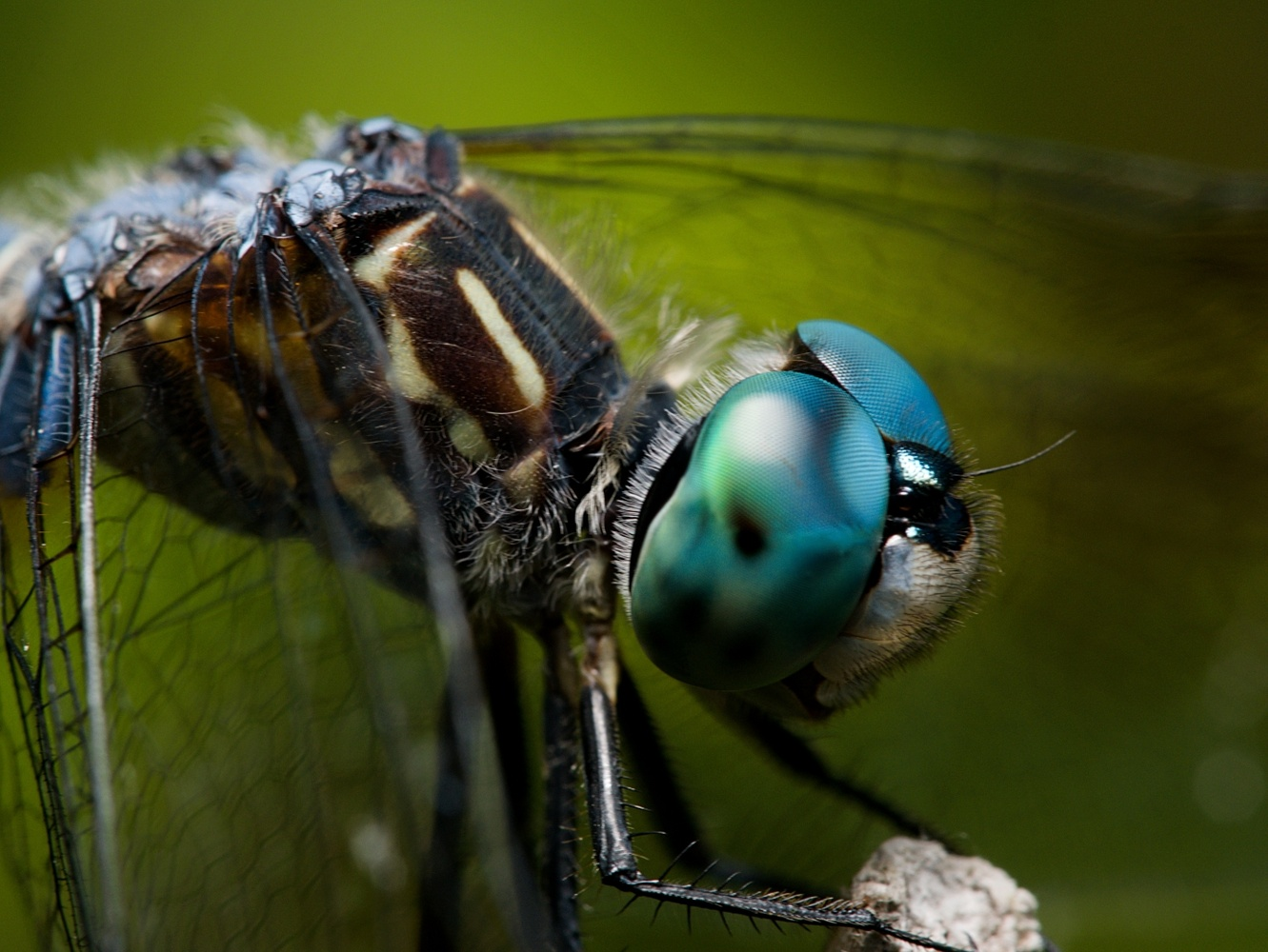 Blue Dasher close up by Troy Straub