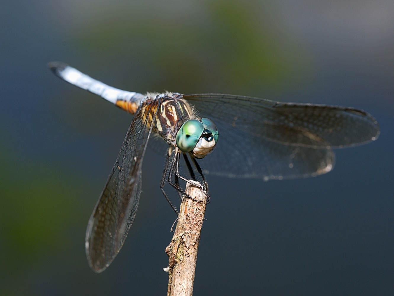 Blue Dasher by Troy Straub