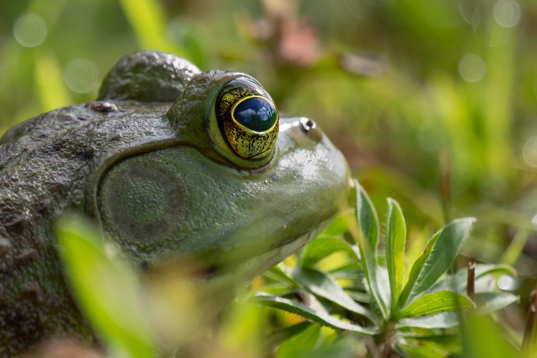 Bullfrog by Troy Straub