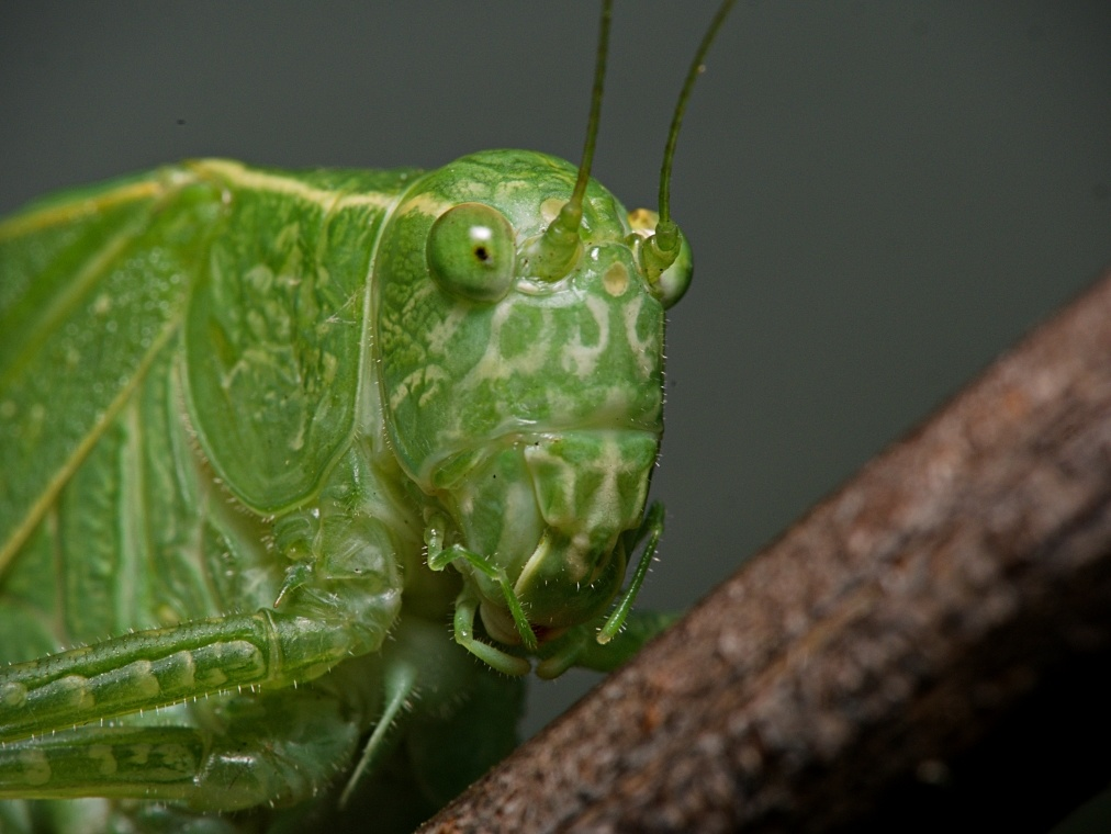 Katydid by Troy Straub