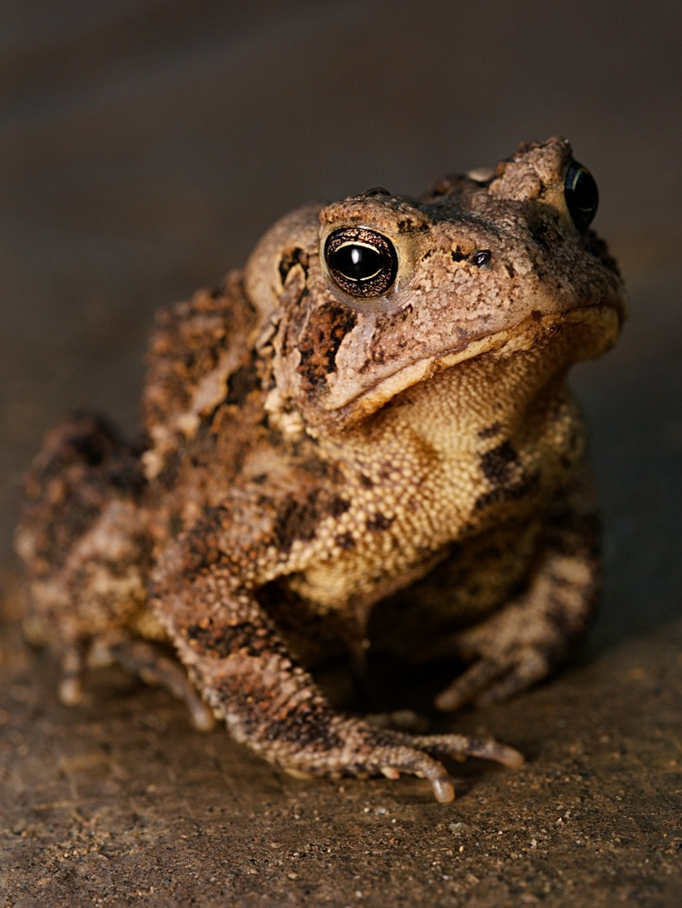 American Toad by Troy Straub