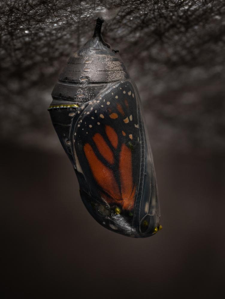 Monarch Chrysalis 2 by Troy Straub