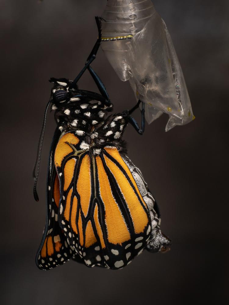 Monarch Eclose 3 by Troy Straub
