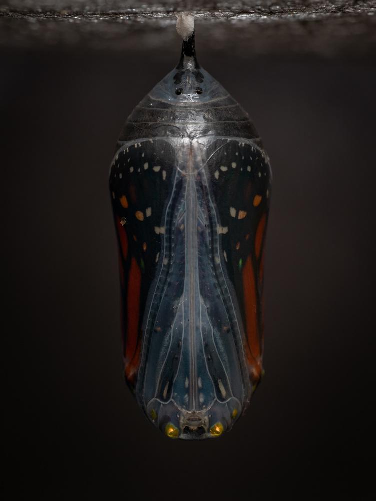 Monarch Chrysalis 1 by Troy Straub