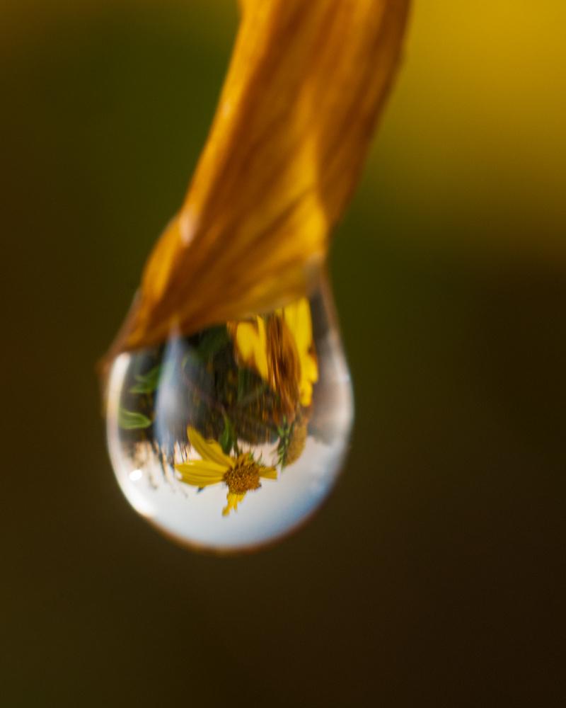 Dewdrop on Aging Sunflower by Troy Straub