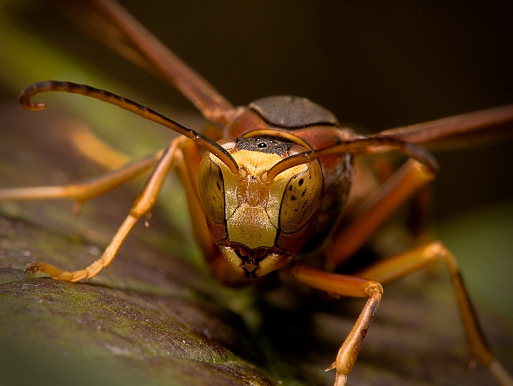 Paper Wasp by Troy Straub