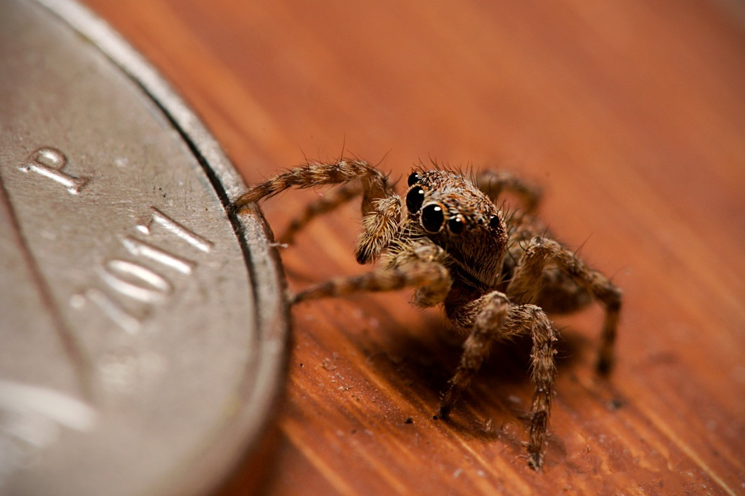 Tan Jumping Spider by Troy Straub