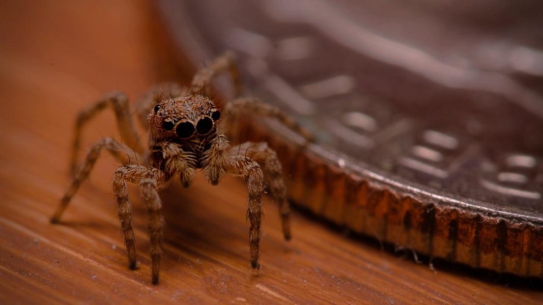 Tan Jumping Spider 2 by Troy Straub