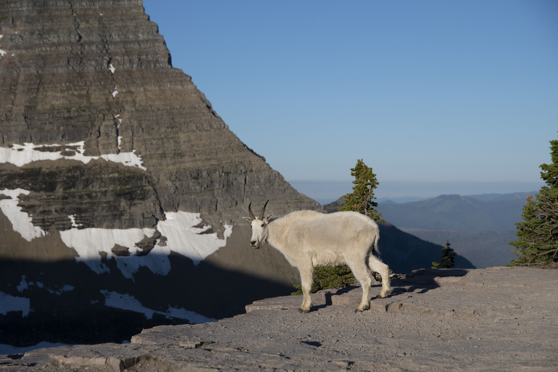 Friendly Mountain Goat by Nolan Kafafian