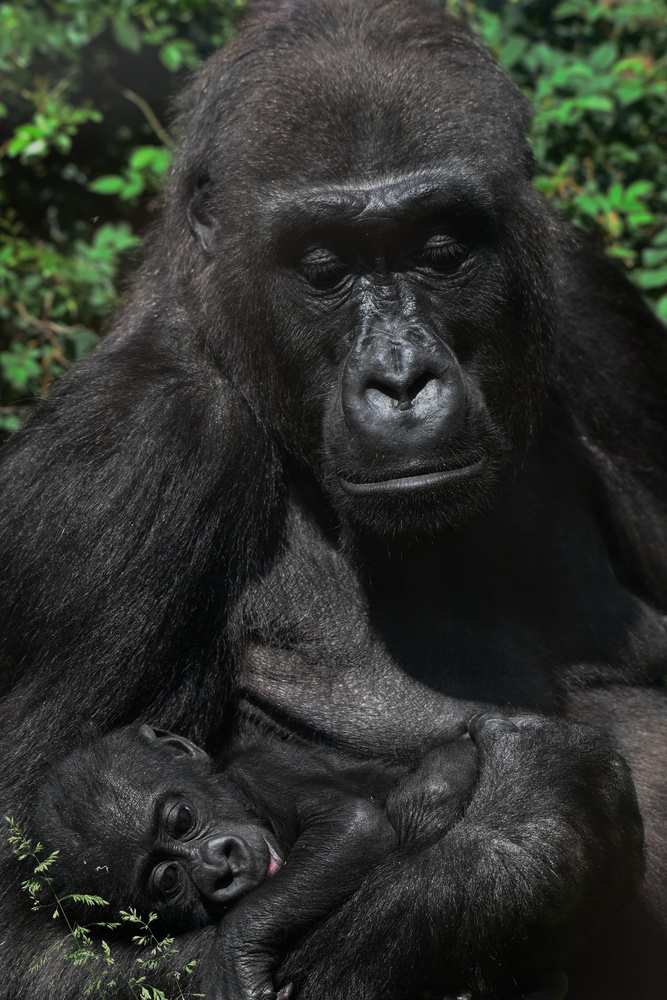 Gorilla mom and her baby by Tobias Broch