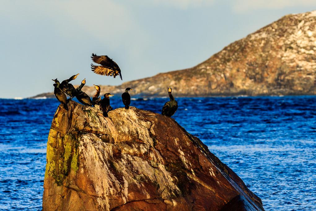 Lofoten Cormorant by yannik waeber