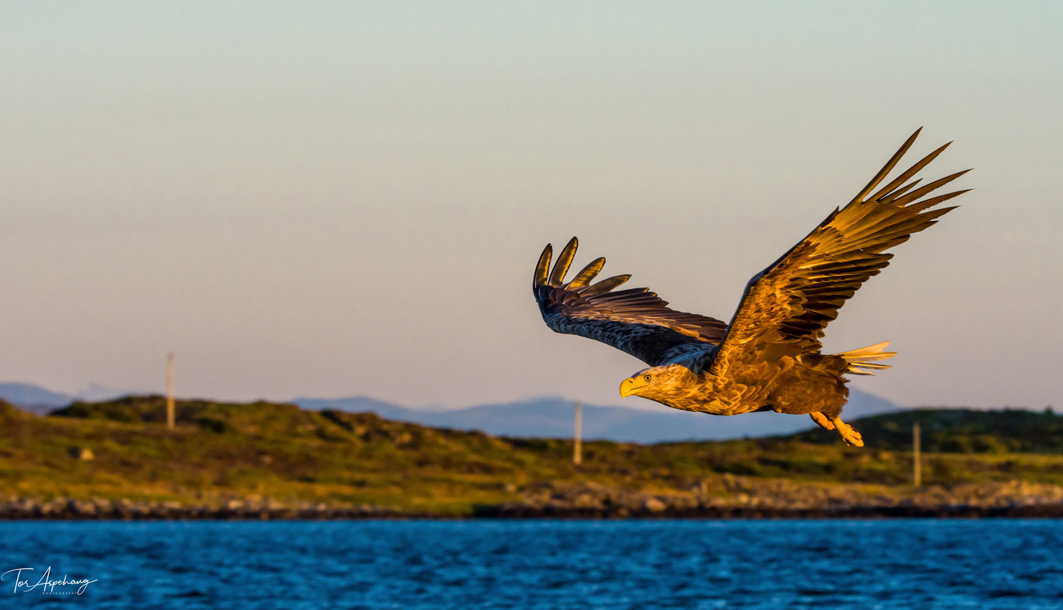 White Tailed Eagle 5 by Tor Aspehaug