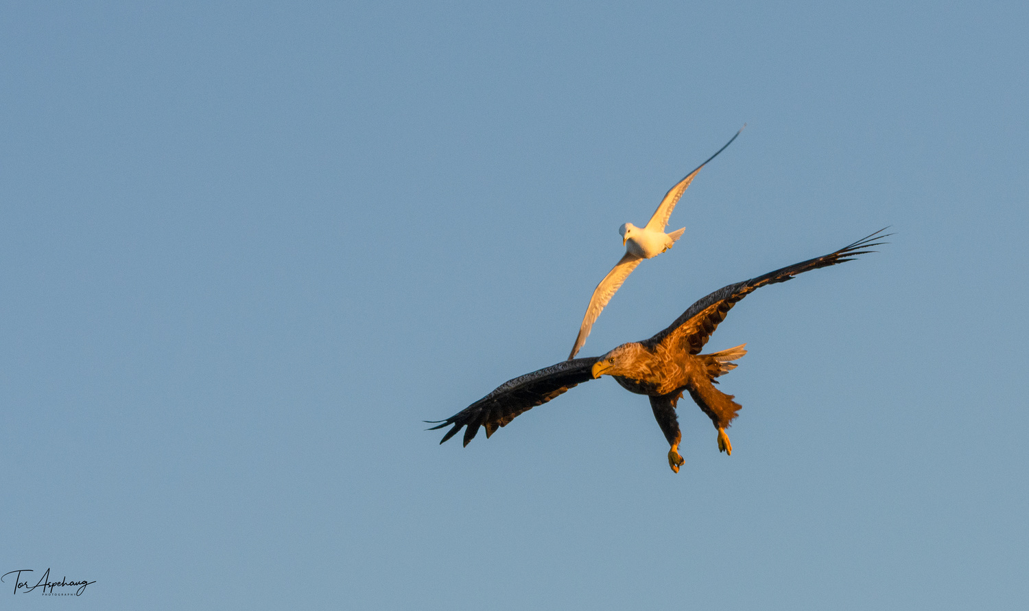 White Tailed Eagle chased by seagull 2 by Tor Aspehaug
