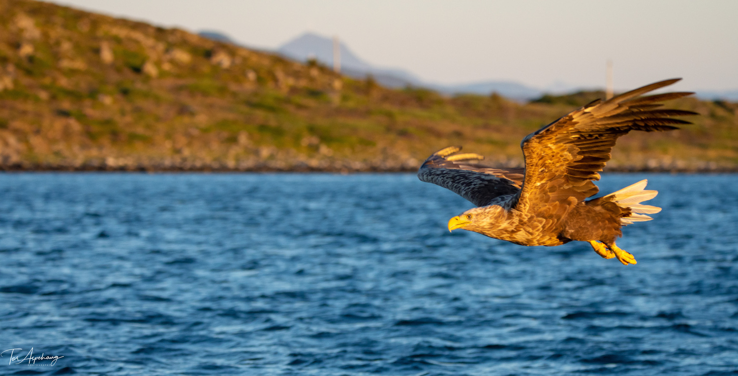 White Tailed Eagle 4 by Tor Aspehaug
