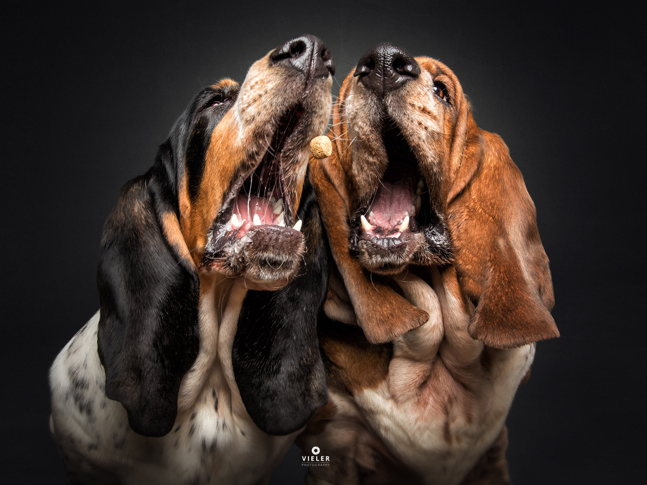 The Tenors - two Basset Hounds by Christian Vieler