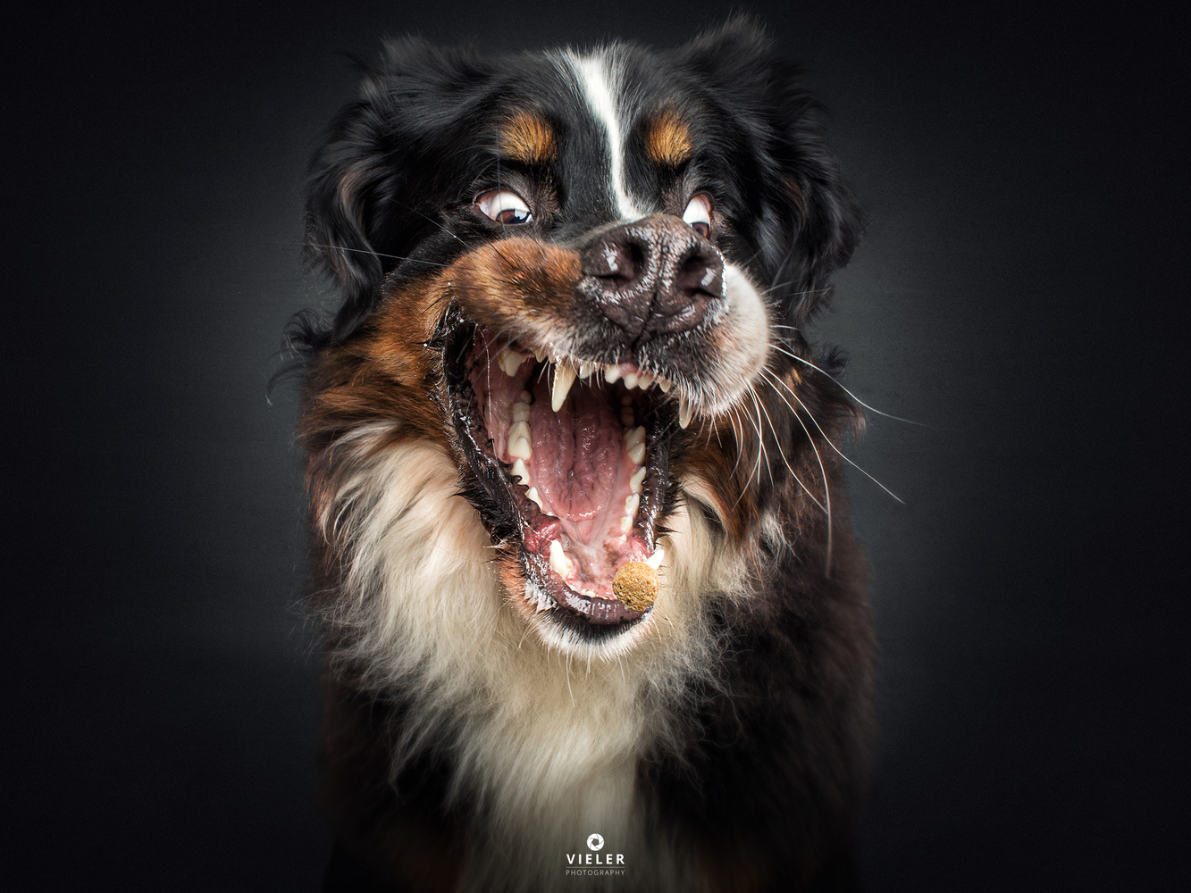 Bernese Mountain Dog catches a treat by Christian Vieler