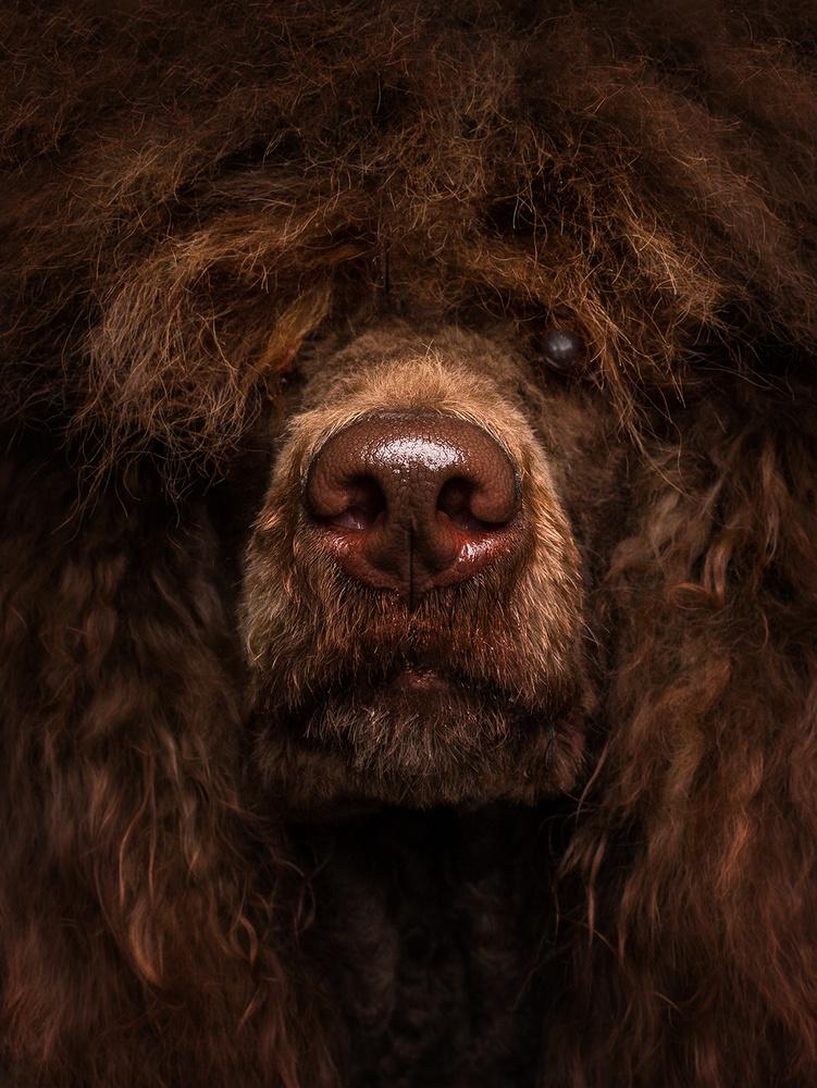 Poodle Doris by Christian Vieler