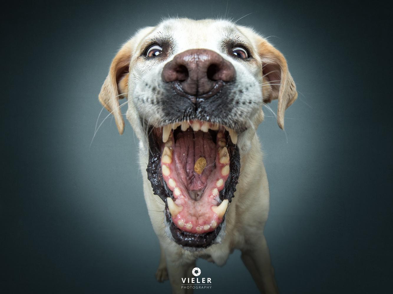 Labrador Gizmo like treats ... very much. by Christian Vieler