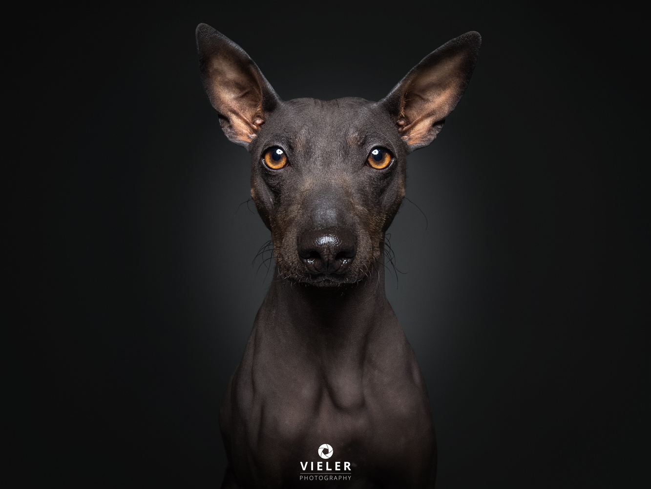 Peppo - 11 month old American Hairless Terrier  by Christian Vieler