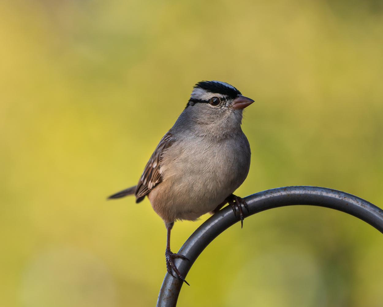 Male White-crowned Sparrow by Timothy Harris