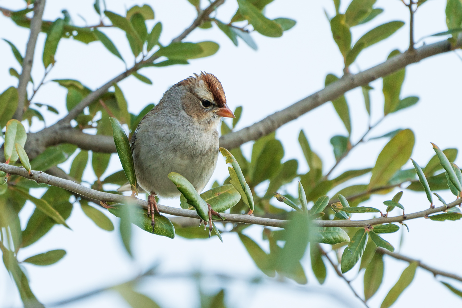 Female White-crowned Sparrow by Timothy Harris