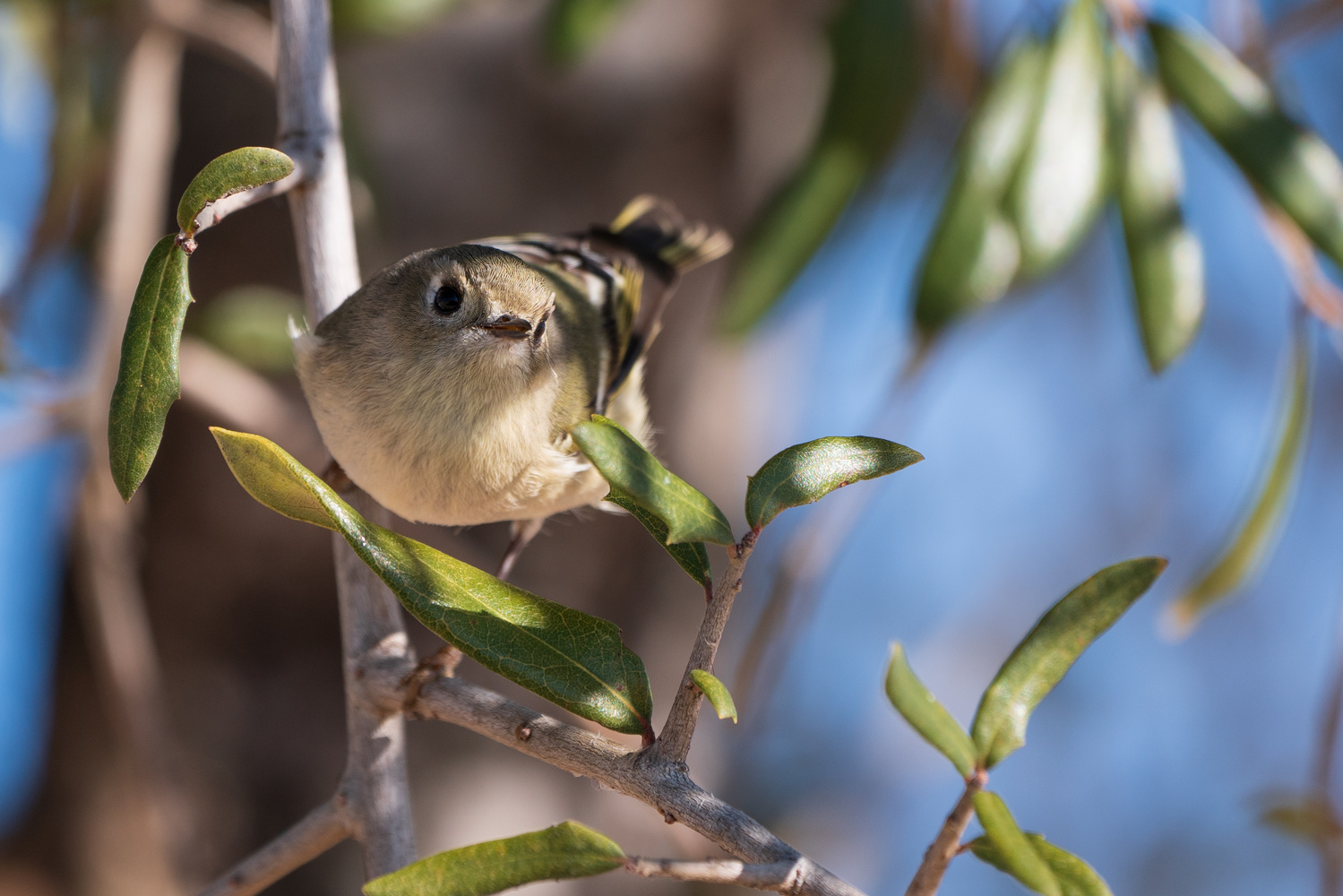 A Ruby-crowned Kinglet smiling at the camera by Timothy Harris