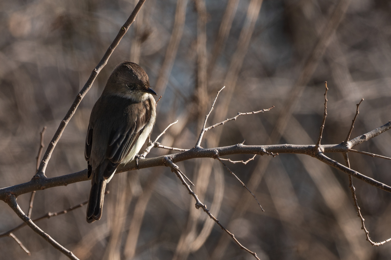 An Eastern Phoebe in the Wild by Timothy Harris
