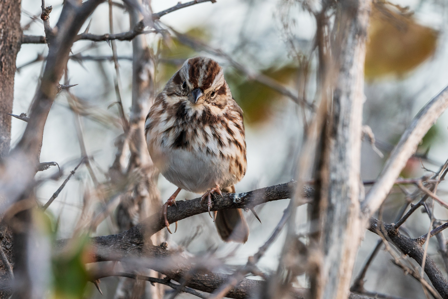 A Song Sparrow by Timothy Harris
