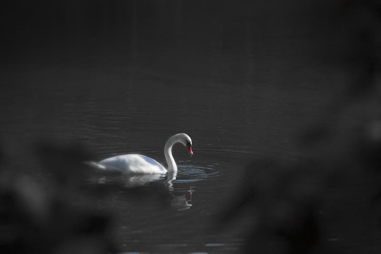 the swan by Joseph Boczenowski