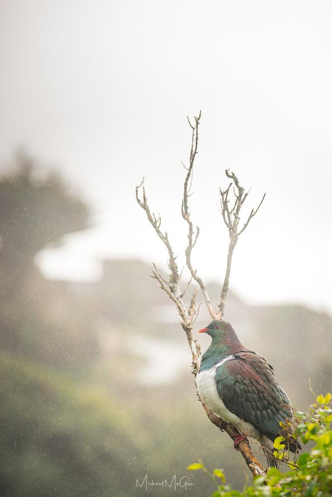 Rainy Day Kereru by Michael McGee