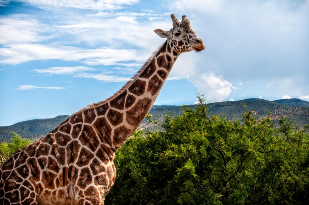 Geoff The Giraffe  by Timothy Gonzalez
