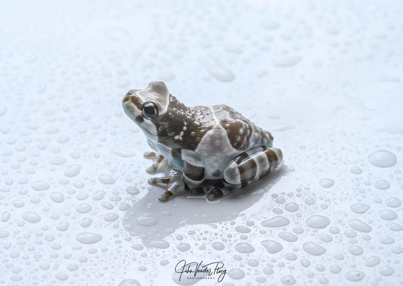 Milk Frog by John Vander Ploeg