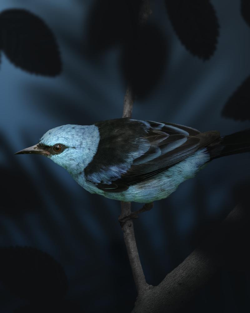 Blue Dacnis by John Vander Ploeg