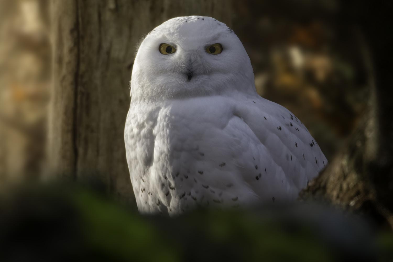 Snowy Owl by John Vander Ploeg