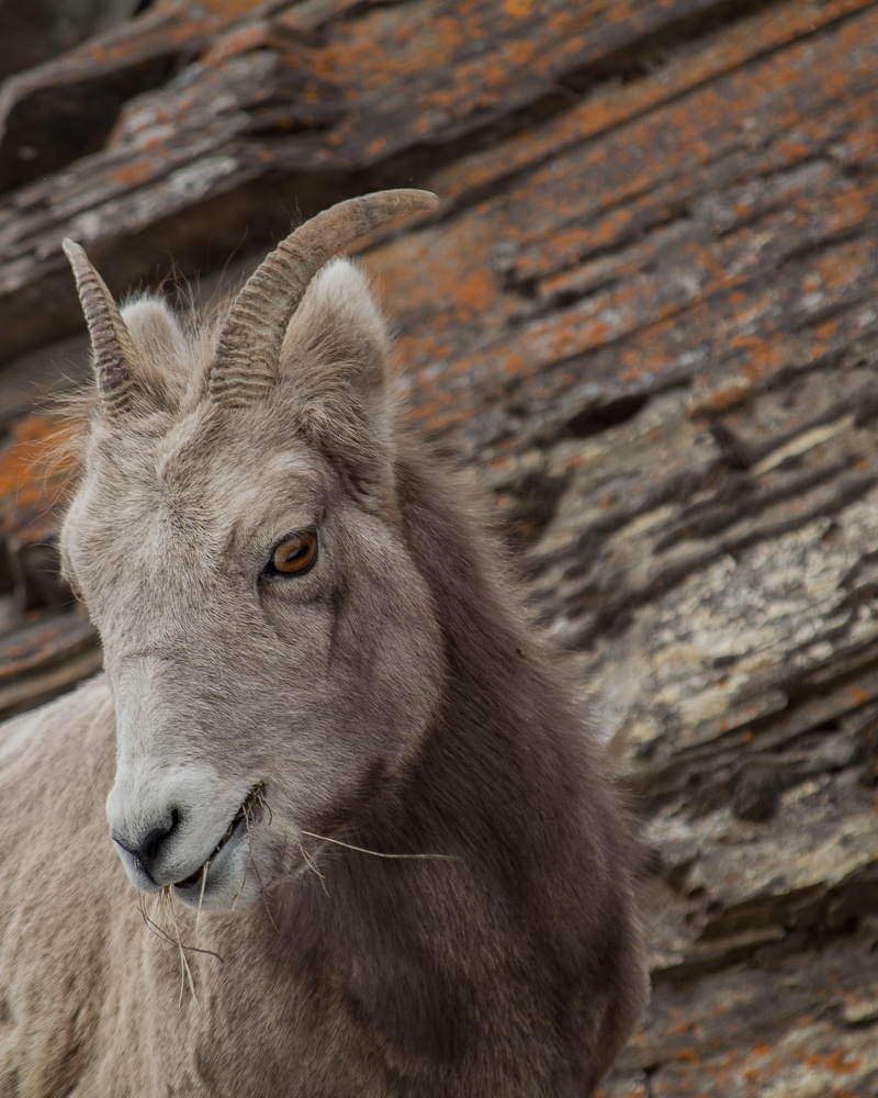 Mountain goat by Peter Thorley