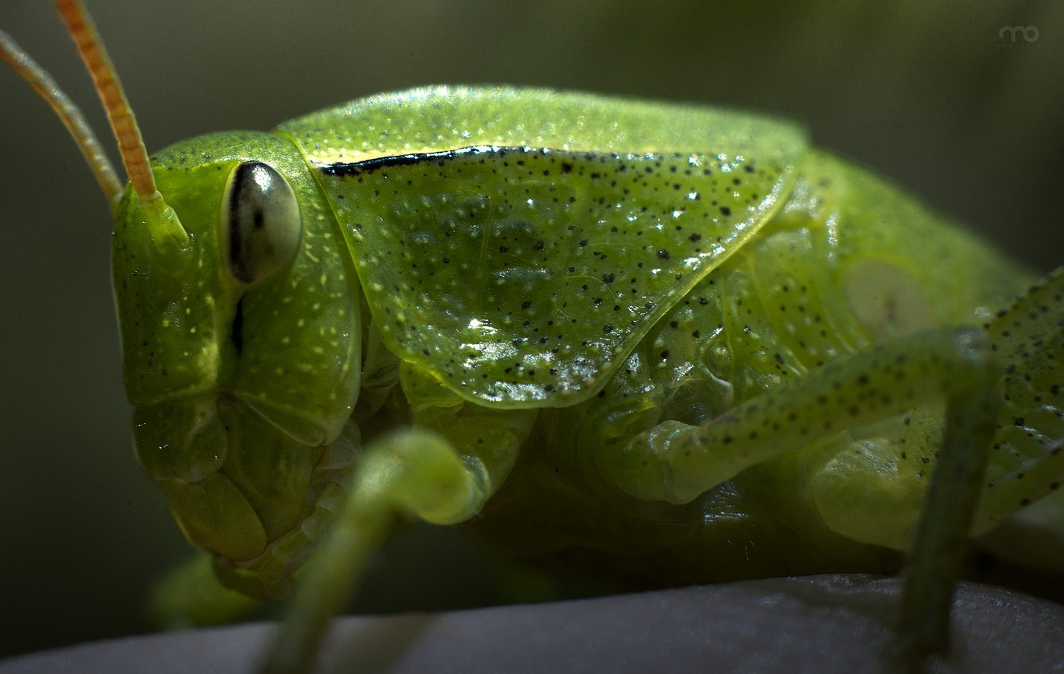 Grasshopper by Mario Olvera