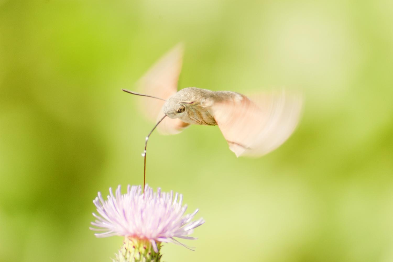 The hummingbird hawk-moth by Stephan Lazányi