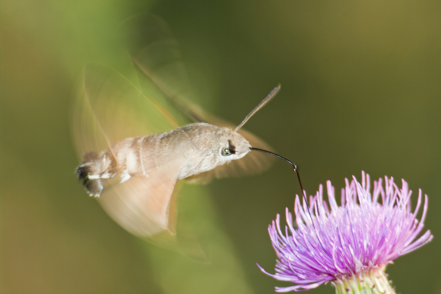 The hummingbird hawk-moth by Stephan Lazányi