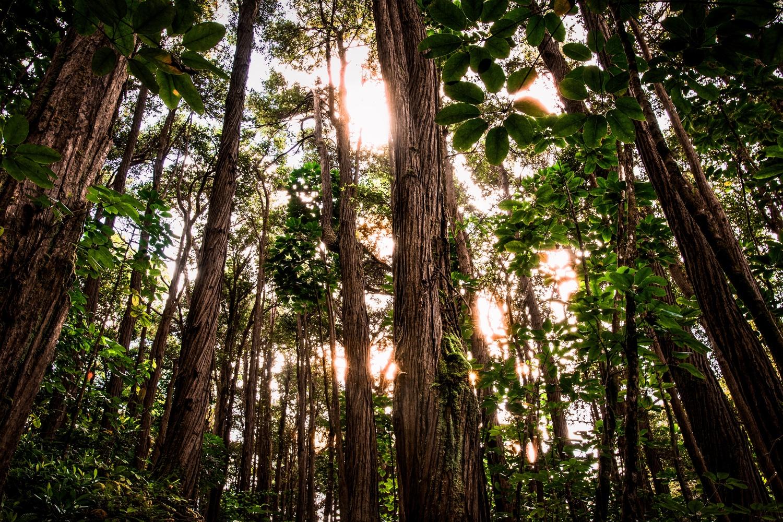 Towering Trees by Johnathan Nichols