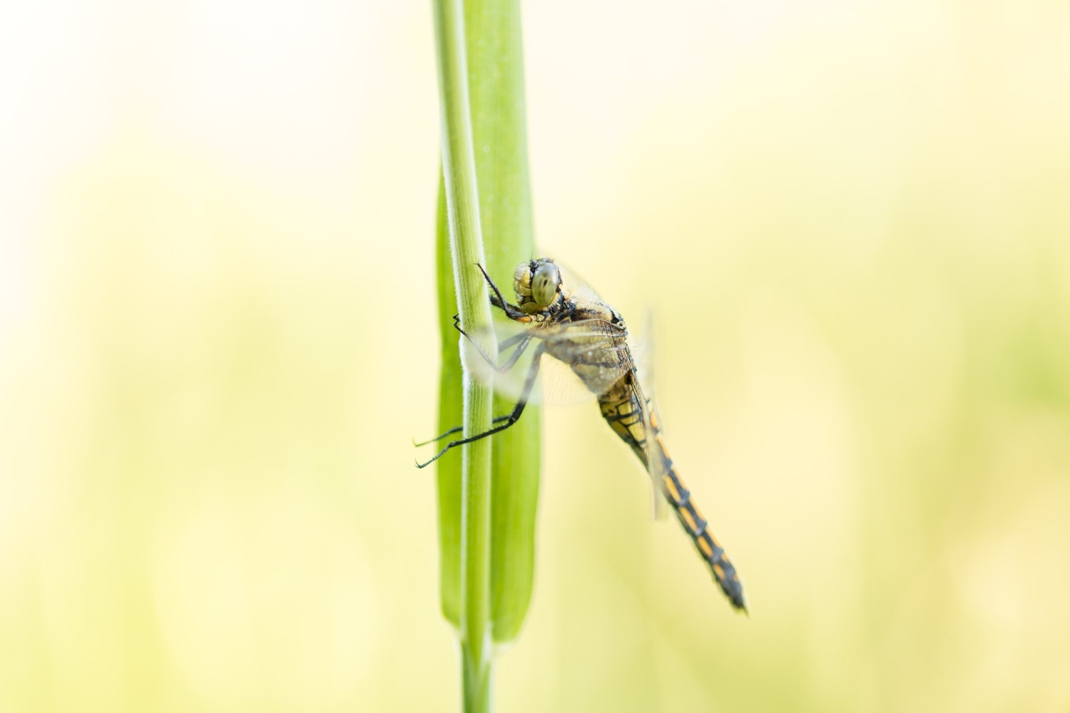 Dragonfly by Ron Meijer
