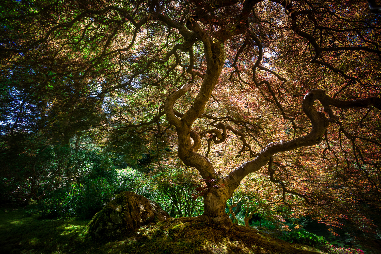 The Maple by Elliot Olson