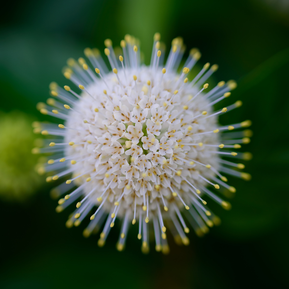 Buttonbush by Erik Pedersen