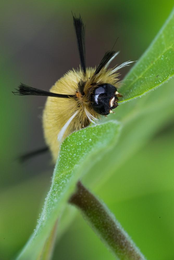 American Dagger Moth Caterpillar by Erik Pedersen