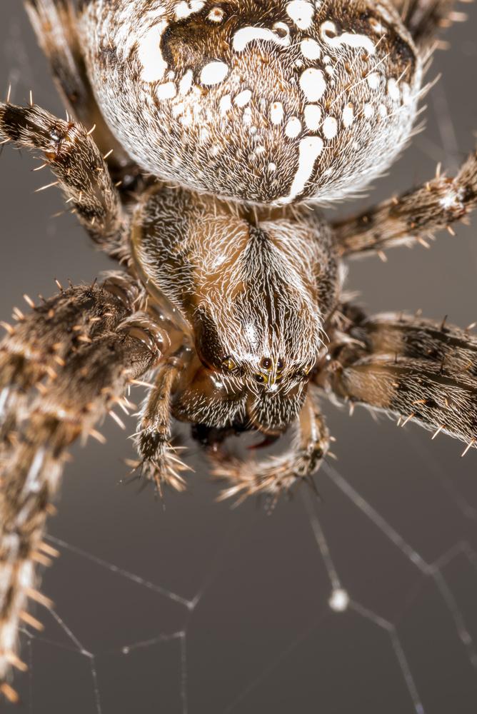 Cross Orb-Weaver Spider by Erik Pedersen