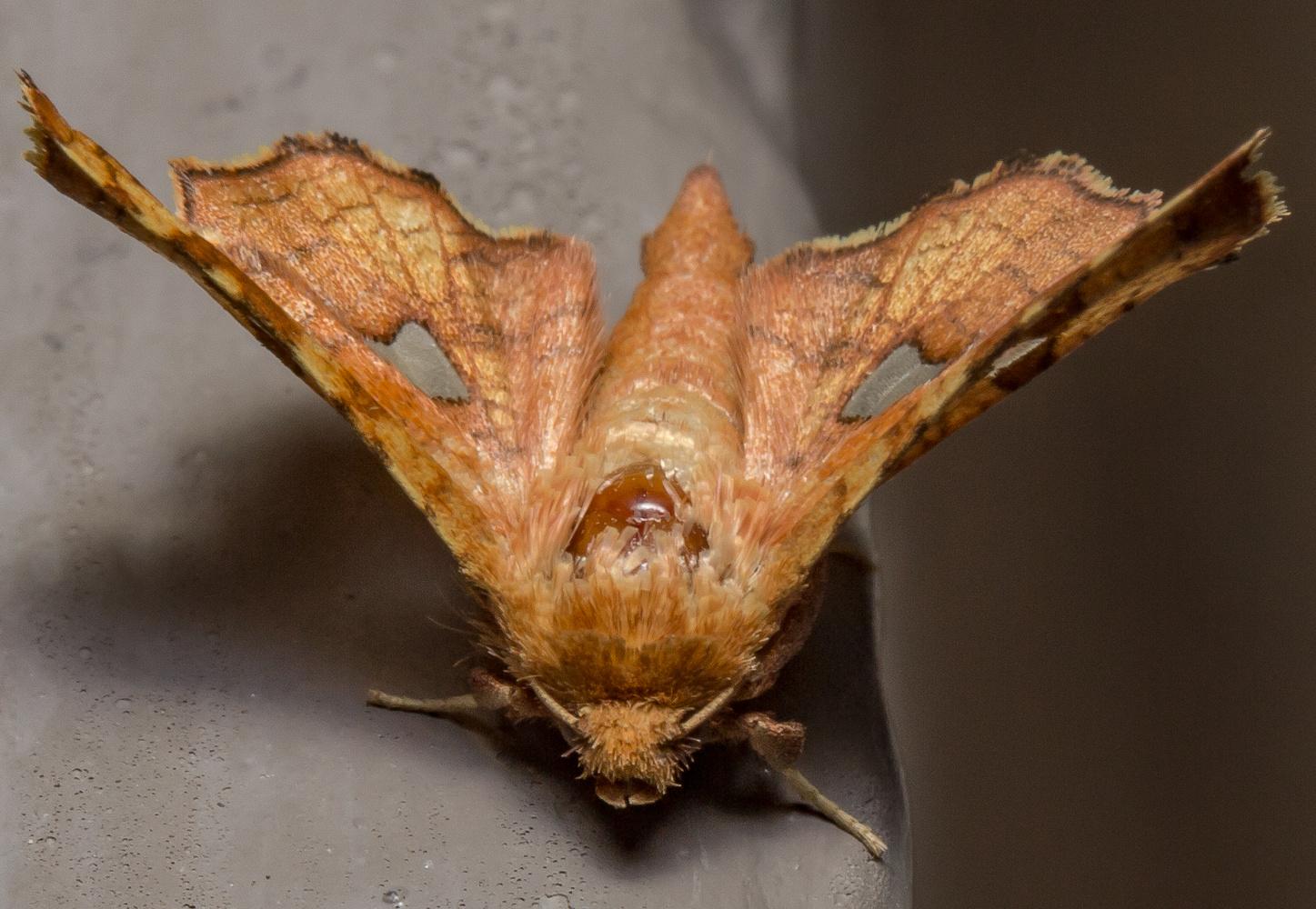 Window-winged Moth (dysodia sp)th by Dave Zeldin